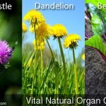 Natural Organ Cleansers – Vital Organ Cleansing Information